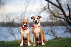 摆在两条美国斯塔福德郡狗的狗户外 免版税库存图片