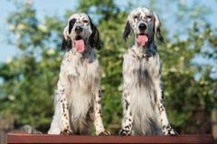 摆在两条英国塞特种猎狗的狗户外 库存图片