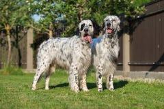摆在两条英国塞特种猎狗的狗户外 库存照片