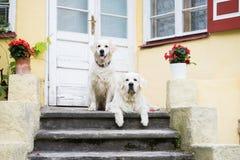 摆在两条金毛猎犬的狗户外 免版税库存图片