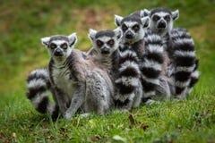 摆在为图片的环纹尾的狐猴家庭  免版税库存图片