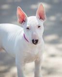 摆在为图片的白色杂种犬小狗 免版税库存图片