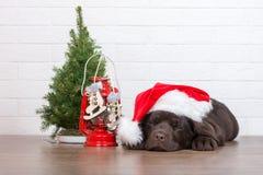 摆在为圣诞节的可爱的拉布拉多猎犬小狗户内 免版税库存图片