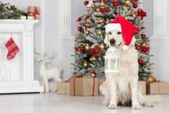 摆在为圣诞节的可爱的金毛猎犬狗户内 图库摄影