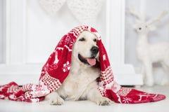 摆在为圣诞节的可爱的金毛猎犬狗户内 库存图片