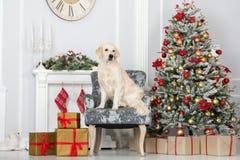 摆在为圣诞节的可爱的金毛猎犬狗户内 免版税库存照片
