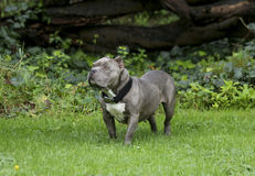 摆在为她的外形的一条美丽的短的狗 免版税库存照片