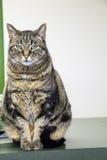 摆在为她的画象的猫 免版税库存图片