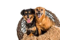 摆在为宠物画象的两条被混合的品种狗 鼠狗和微型达克斯猎犬 免版税图库摄影
