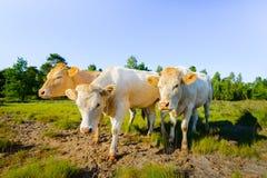 摆在为摄影师的三头幼小母牛 免版税库存照片