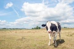 摆在为摄影师的幼小黑白被察觉的母牛 免版税库存照片