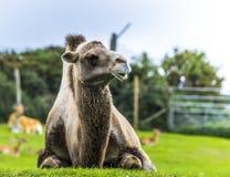 摆在为照片的骆驼在西米德兰平原徒步旅行队公园动物园 图库摄影