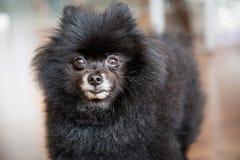 摆在为照相机的一条成熟的黑Pomeranian狗 免版税库存图片