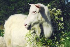 摆在为照相机的山羊喜欢模型 免版税库存照片