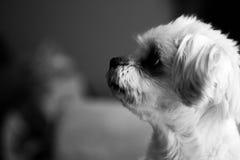 摆在为照相机的狗 图库摄影