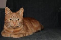 摆在为照相机的美丽的红色猫 库存照片