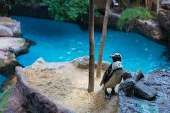 摆在为照相机的逗人喜爱的小的企鹅 图库摄影