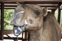 摆在为照相机的骆驼 免版税库存照片