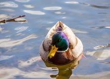 摆在为照相机的鸭子 免版税库存照片