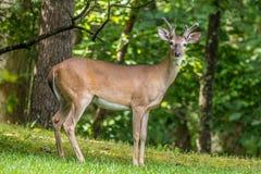 摆在为照相机的鹿在森林里 库存照片