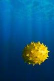 摆在作为河豚的Melano或Kiwano果子在海下 图库摄影