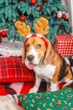 摆在作为鹿和展示舌头的滑稽的小猎犬狗在Cristmas树附近 库存照片