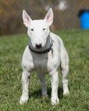 摆在公园的白色杂种犬 免版税库存图片