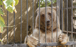 摆在关在监牢里的熊在动物园里 库存图片