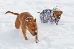 摆在冷淡的早晨的两条美国斯塔福德郡狗狗 库存照片