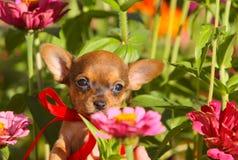 摆在反对桃红色花背景的红发小狗  一条小逗人喜爱的狗的画象与被举的耳朵的 库存图片