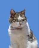 摆在反对蓝天的家猫 库存图片