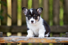 摆在可爱的威尔士小狗的小狗户外 免版税图库摄影