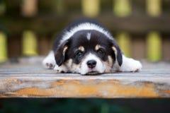 摆在可爱的威尔士小狗的小狗户外 库存图片