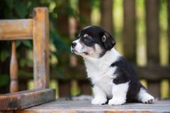 摆在可爱的威尔士小狗的小狗户外 库存照片