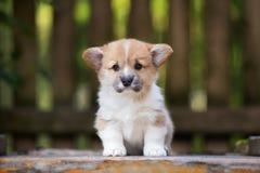 摆在可爱的威尔士小狗的小狗户外 免版税库存图片