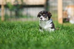 摆在可爱的威尔士小狗的小狗户外 免版税库存照片