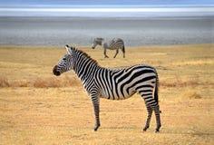 摆在和好奇地查找在徒步旅行队的斑马 免版税库存照片
