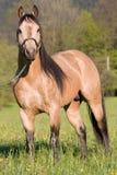 摆在四分之一公马的美国马 免版税库存图片