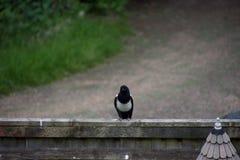 摆在在英国国家车道的篱芭的鹊 免版税库存图片