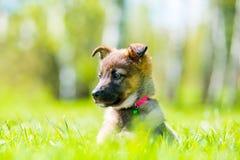 摆在坐在绿草的小的小狗 免版税库存图片