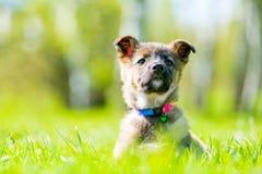 摆在坐在绿草的骄傲的小的小狗 免版税图库摄影