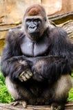 摆在坐的西部凹地大猩猩 免版税库存图片