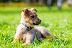 摆在坐草的小的美丽的小狗在公园 库存图片