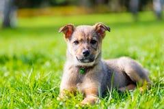 摆在坐草的镇静美丽的小狗 图库摄影