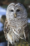摆在垂直的图片的美丽的条纹猫头鹰 免版税库存照片