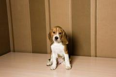 摆在墙壁的infront的小猎犬狗 图库摄影