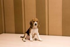 摆在墙壁的infront的小猎犬狗 库存照片