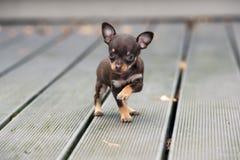 摆在小的小狗户外 图库摄影