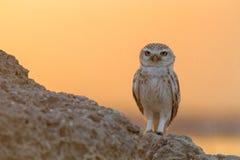 摆在岩石堆的小猫头鹰在沙漠 免版税库存图片