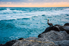 摆在岩石岸的鹈鹕 库存照片